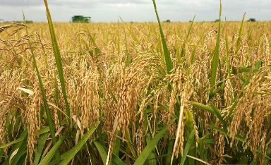 Rice farmers to crash price toto N7000 in 4 months