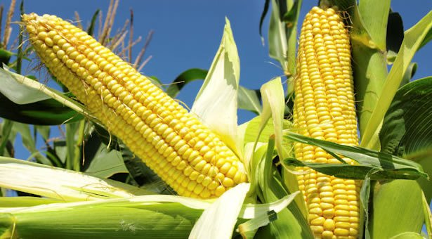 Nigeria to send back 90 tonnes imported genetically modified maize